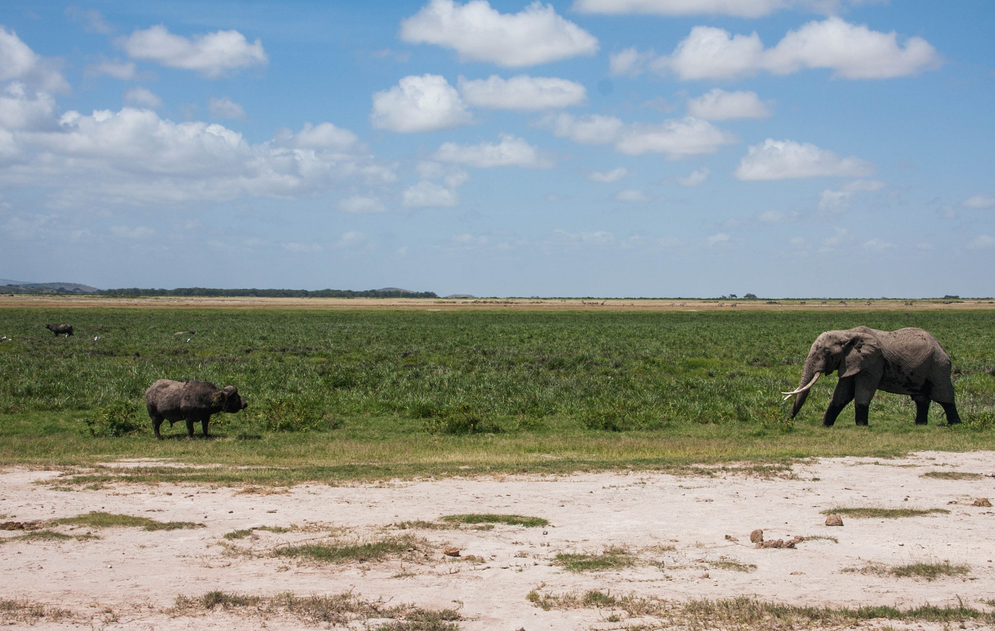 Elephant vs Buffalo Amboseli