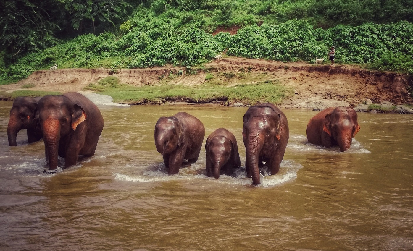 Elephants crossing river in Elephant Nature Park