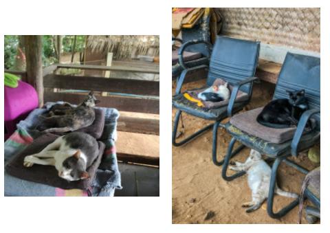 Cats Chiang Mai