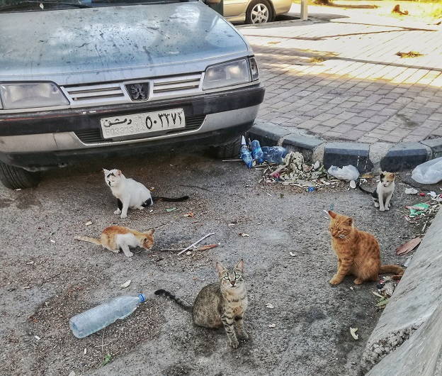 Damascus Cats